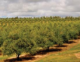 En Agroland la cosecha de aceitunas se realiza en sus propios olivares, situados en Garzón