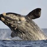 Lanzamiento de temporada de ballenas en Punta del Este