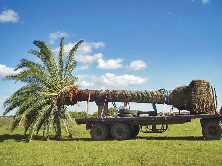 Transporte de grande palmeras