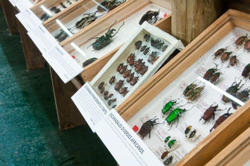 Una muestra de escarabajos africanos en el Muse del Mar de Punta del Este, donde se conservan más de 38.000 ejemplares de insectos.