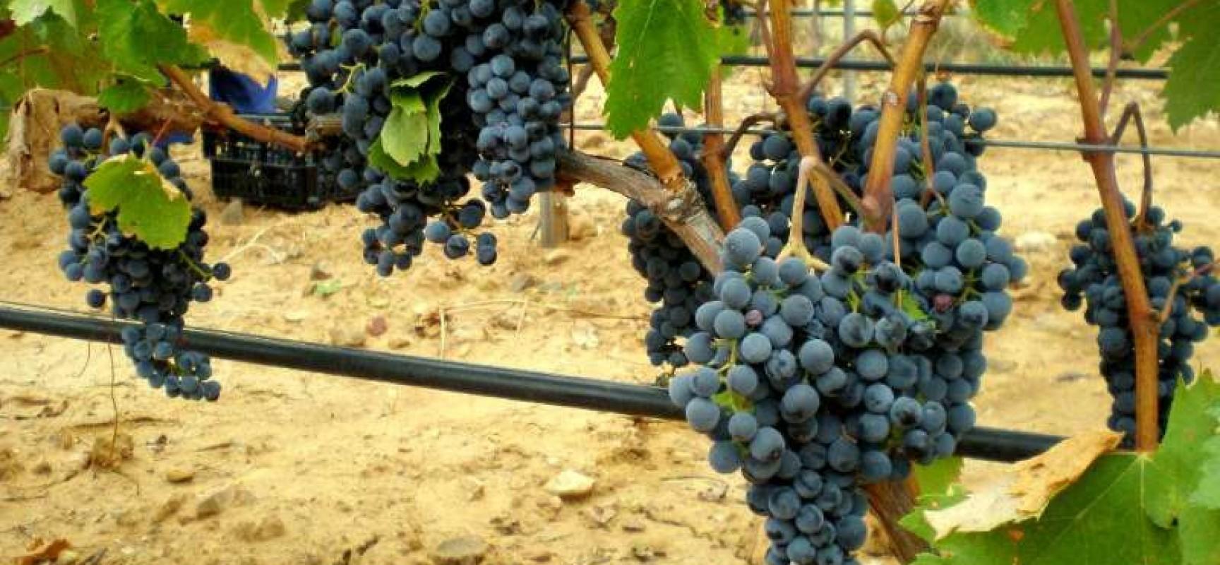 Vinos del Uruguay sigue cosechando premios