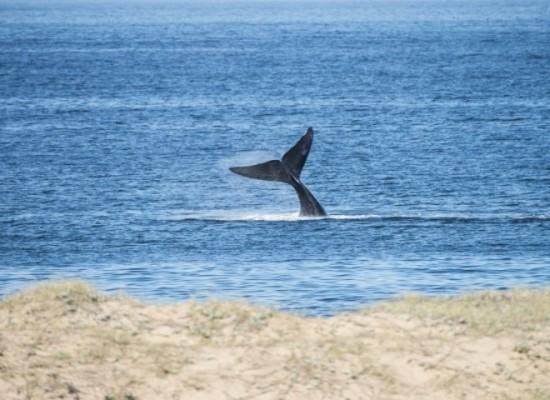 Inicia la temporada de ballenas 2016 en Punta del Este