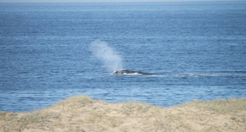 La ballena franca austral llega a medir más de 15 metros y a pesar entre 40-60 toneladas.