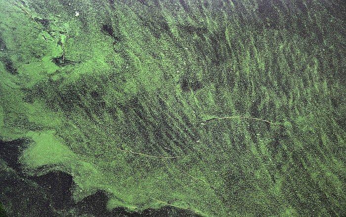 Cianobacterias en el lago Okeechobee, Florida. Foto: diariocorreo.pe
