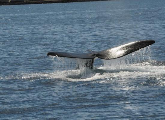 Ya inicia la temporada de ballenas 2017 en Punta del Este