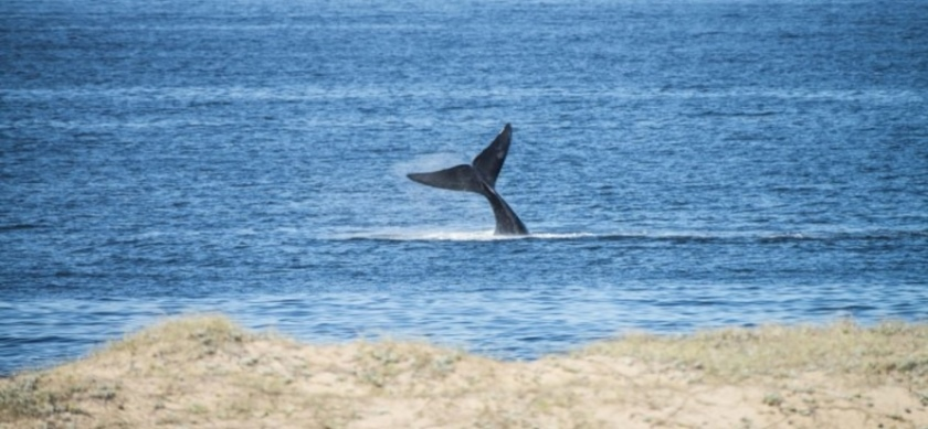 Cola de ballena franca austral en la bahía de Maldonado, foto tomada por Punta del Este Internacional en la Parada 46 de Playa Mansa